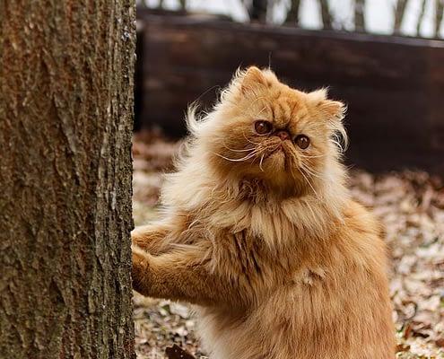 Ricerca sul gatto persiano